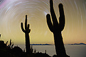 Bolivia, Altiplano, Salar de Uyuni, world's largest salt flat; rare cacti (Echinopsis tarijensis) on Isla Inkahuasi with star trails, long night exposure