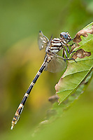 360270020 a wild female four-striped leaftail dragonfly phyllogomphoides stigmatus perches on a leaf along the guadalupe river independence park gonzales gonzales county texas