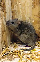 Wanderratte, Wander-Ratte, Ratte, Rattus norvegicus, commoner brown rat, Norway rat, common rat