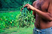 Harvesting herbs on a farm in Waipio Valley on the Big Island