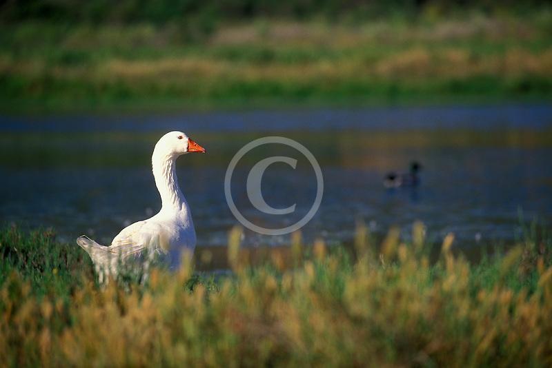 California, Santa Cruz County, Pajaro Dunes, Goose in lagoon