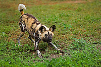 African Wild Dog (Lycaon pictus) in defensive posture, Namibia