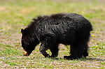 Black Bear Cub, Roosevelt Lodge, Yellowstone National Park, Wyoming