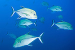 The Boiler dive site, San Benedicto Island, Revillagigedos Islands, Mexico; a school of Black Jack (Caranx lugubris) fish