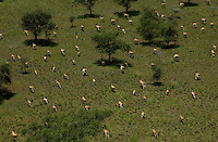 The Boma-Jonglei Landscape is home to some of the most spectacular and important wild life populations of ungulates, including  perhaps the largest wildlife migration in the world. An annual migration of  antelope called the white-eared kob may rival the famous wildebeest migration of the Serengeti in Kenya and Tanzania. This is a herd of Eland, perhaps the biggest antelope.  (PHOTO: MIGUEL JUAREZ LUGO).
