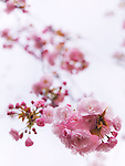 Closeup of pink blossoming Japanese cherry tree branch over light blue sky. P. Lannesiana Sekiyama