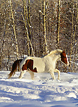 Paint horse running through snow, Methow Valley, Washington