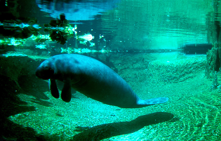 Florida: Tampa, Manatees at Lowry Park Zoo, endangered species.  Photo: flcent105.Photo copyright Lee Foster, 510/549-2202, lee@fostertravel.com, www.fostertravel.com