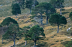 Caledonian pines, Gelnfeshie, Scotland. <br /> An old growth forest in the foothills of  the Cairngorms. <br /> This Caldedoniam pine forest used to cover much of Scotland  but has been  destroyed by deer over grazing and clearances.