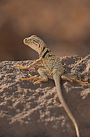414390003 a wild male great basin or desert collared lizard crotaphytus insularis bicinctores sits on a rock outcrop in redding canyon in owens valley inyo county california united states