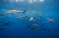 RM0677-D. Silky Sharks (Carcharhinus falciformis), dozens gathered together to feed on small fish in baitball. Baja, Mexico, Pacific Ocean. <br /> Photo Copyright &copy; Brandon Cole. All rights reserved worldwide.  www.brandoncole.com