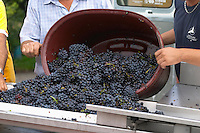 Hand selecting the bad grapes at a sorting table. Gamay. Domaine Tracot Dubost, Beaujolais, France