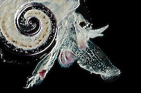 Pteropod (Atlanta peroni), which swims, coiled shell and all, using the long structures near its head as oars. This pelagic Heteropod Gastropod has a unique eye or photoreceptor.