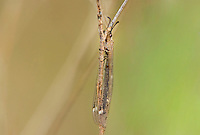 306000001 a wild antlion or lacewing antlion fam myrmeleontidae also known as doodlebug in larval stage clings to a small shrub stem in southeast regional park in austin texas
