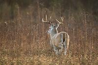 Texas whitetail buck during the autumn rut