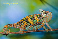 CH39-524z  Male Veiled Chameleon in display colors, Chamaeleo calyptratus