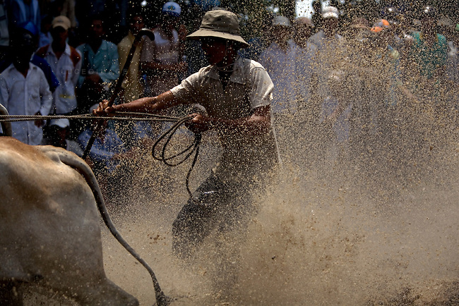 Farmers race bulls during the annual &quot;Dua Bo - Cow Racing&quot; competition in Tri Ton District in southern Vietnam near the Cambodian border on September 27, 2008.<br /> The bulls race in teams of two, controlled by jockeys who ride behind them on rake-like, wheelless buggies.<br /> The rectangular track, that is 160 meters long and 60 meters wide, is built on a rice paddy field and is filled with mud and water.  Each race includes three laps of the track totaling 1,320 meters until the finish line.<br /> The cow races brought 70 competitors and more than 30,000 spectators.
