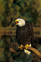 521040095 a captive wildlife rescue adult bald eagle hailaeetus leucocephalus calls while perched on a dead snag over a small pond with fall colors in the background in central colorado