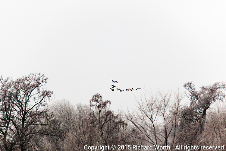 A skein of Canada geese fly over bare tree tops and into a sky filled with snow to fall.  Winter in southern Colorado along the Arkansas River.