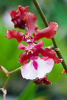 Oncidium Sharry Baby &lsquo;Sweet Fragrance&rsquo;, fragrant orchid hybrid, easy to grow, popular hybrid of Onc. Jamie Sutton x Honolulu, <br /> 1984