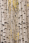 Aspens, Escalante-Grand Staircase National Monument, Utah