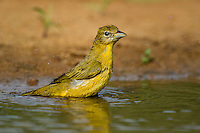 580980036 a wild female summer tanager piranga rubra bathes in a small pond at laguna seca ranch in the rio grande valley of south texas