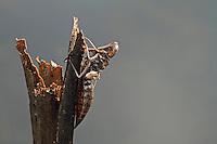 Herbst-Mosaikjungfer, Mosaikjungfer, Herbstmosaikjungfer, Exuvie, Larvenhaut, Larve, Aeshna mixta, scarce aeshna, migrant hawker, larva, exuviae