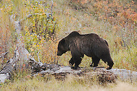 Grizzly Bear (Ursus arctos horribilis), adult, Yellowstone National Park, Wyoming, USA