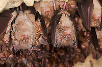 Colony of Greater Horseshoe Bats (Rhinolophus ferrumequinum) hanging in cave, Normandy, France.
