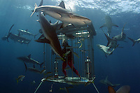 DIVER (MR) IN A SHARK CAGE AND CARIBBEAN REEF SHARKS, Carcharhinus perezi, BAHAMAS