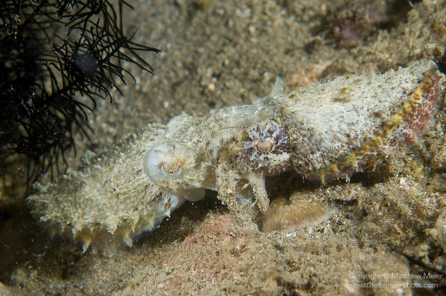 Anilao, Philippines; a pair of Stumpy-spined Cuttlefish (Sepia bandensis) stirring up sand while mating