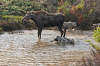Cow moose defends her newly born calf from the Grant Creek wolf pack who attack them in a small tundra pond, Denali National Park. In the end, the wolves got the baby moose.