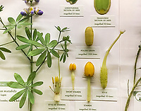 Pollen grains and stamens, Glass Flowers Exhibit Harvard Museum of Natural History