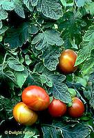 HS09-029a  Tomato - vendor variety