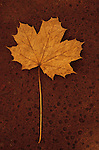 Autumn leaf on rust