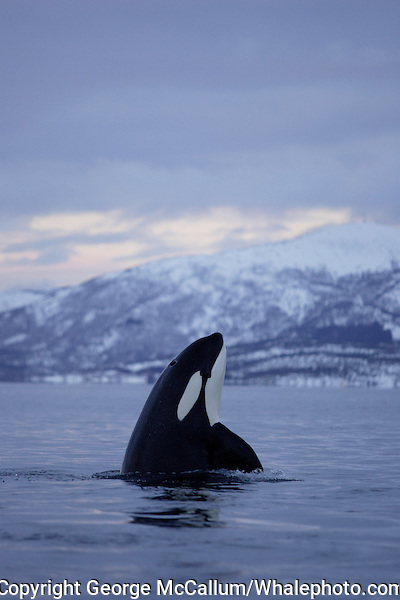 Spyhopping killer whale ( Orcinus orca )at sunset, Tysfjord, Arctic Norway