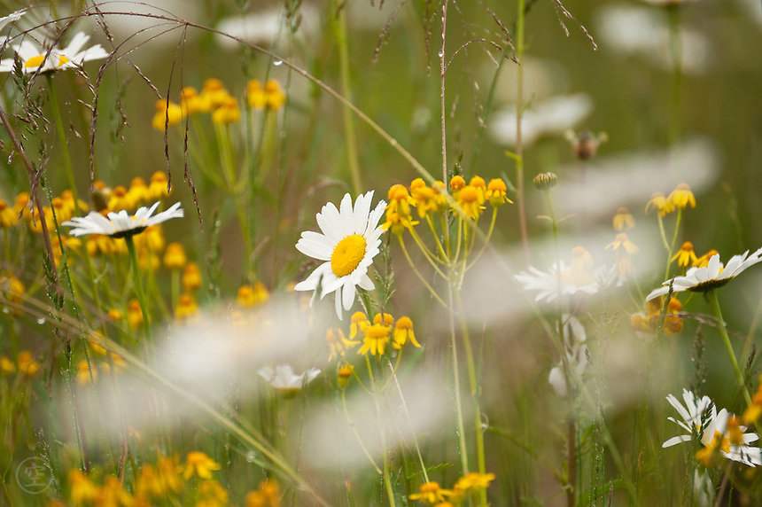 Daisies, wildflowers, the meadow after rain.