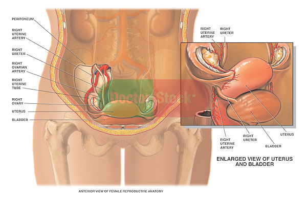Female Reproductive System. This medical exhibit illustrates the blood supply or vasculature of the female reproductive organs including the uterine artery and the ovarian artery. The anatomical relatinship of the uterus, ovaries, and bladder are clearly depicted.