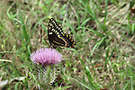 A swallowtail butterfly stops for a nectar break on a thistle blossom.