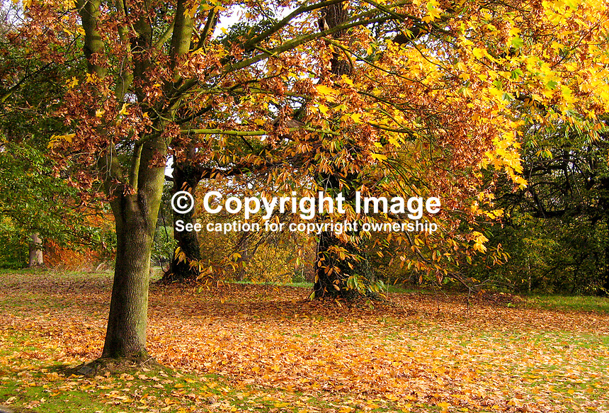 Barnett's Park, Belfast, N Ireland, auturn, fall, trees, leaves, colours,200711040006.<br /> <br /> Copyright Image from Victor Patterson, 54 Dorchester Park, Belfast, UK, BT9 6RJ<br /> <br /> t1: +44 28 9066 1296<br /> t2: +44 28 9002 2446<br /> m: +44 7802 353836<br /> <br /> e1: victorpatterson@me.com<br /> e2: victorpatterson@gmail.com<br /> <br /> www.victorpatterson.com<br /> <br /> IMPORTANT: Please see my Terms and Conditions of Use at www.victorpatterson.com