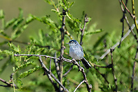 536050001 a wild black-tailed gnatcatcher polioptila melanura perches in a mesquite bush in montosa canyon near green vally arizona united states