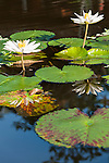 Bali, Indonesia; white and yellow lily flowers rise out of a shallow pond