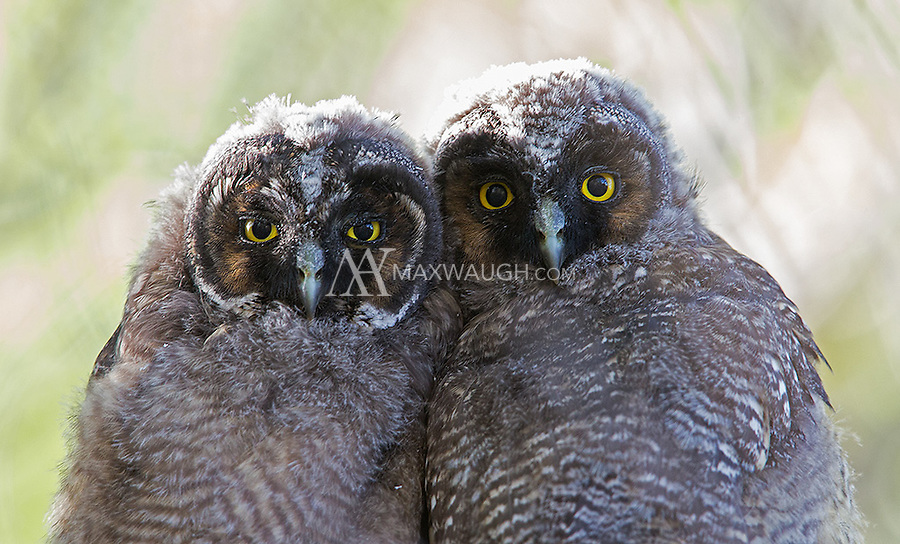 We found a couple sets of fledged Long-eared owlets, but it was very difficult to get good photos of them due to the thick brush.