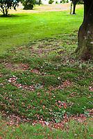 Dry shade: Moss under Acer palmatum var. dissectum, moss instead of lawn grass, alternative