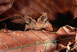 True Toad, Tambopata River region, Peru