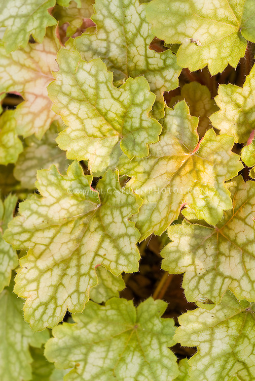 Heuchera 'Ginger Ale' foliage garden plant   Plant & Flower Stock...