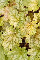 Heuchera Ginger Ale foliage plant