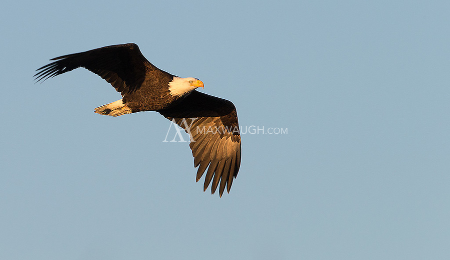 Bald eagles congregate in large numbers in Washington and BC during winter months.