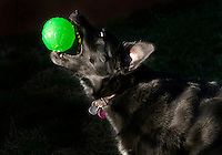 A black dog plays with a green ball.