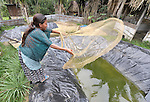 A woman throws a net to harvest fish from her family's fish pond in Santa Elena, in Guatemala's remote Peten region.